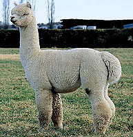 Supreme Champion Czar at Ashwood Alpaca